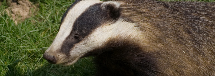 badgerbanner